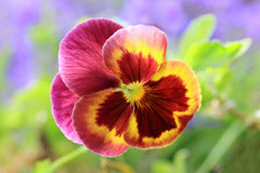 A three-color Pansies. Pansies are very popular because of beautiful colors and long flowering Stock Photos