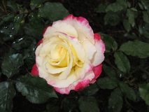 Three color petal rose Stock Photo