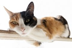 Three-color red, black, white cat lies on a narrow stick. White background royalty free stock photos