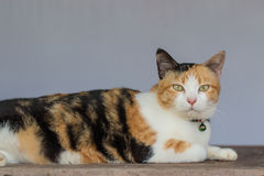 Three color thai cat Stock Photos