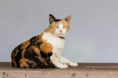 Three color thai cat Stock Image