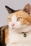 Three color thai cat Stock Photography