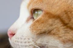 Three color thai cat Royalty Free Stock Photos