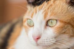 Three color thai cat Stock Images