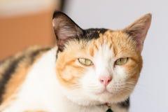 Three color thai cat Royalty Free Stock Photo