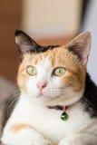 Three color thai cat Royalty Free Stock Image