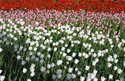 Three color tulips. Red, Pink, white color tulips meadow Royalty Free Stock Image