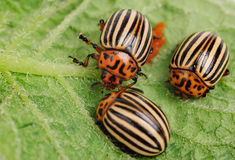 Three Colorado potato beetle stock photo