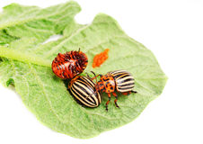 Three Colorado potato beetle on a leaf stock photography