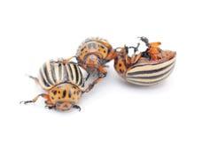 Three colorado potato bug stock photography