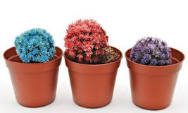 Three colored cactus Stock Photography