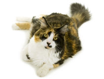 Three-colored Cat Royalty Free Stock Photography