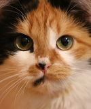 Three-colored cat close up Stock Photos