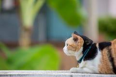 Three colored cat closeup Royalty Free Stock Image