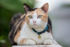 Three colored cat closeup Stock Image