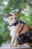 Three colored cat closeup Royalty Free Stock Photo