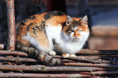 Three-colored cat on a fence. Beautiful cat, cat bask in the sun, baleen carnivores, pet, fluffy cat, predator, cat on a wicker fence royalty free stock images