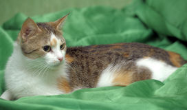 Three-colored cat on a green background Stock Photos