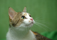 Three-colored cat on a green background Stock Photography