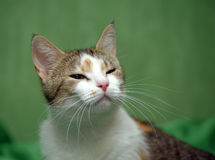 Three-colored cat on a green background Royalty Free Stock Photo