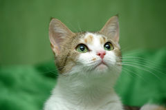 Three-colored cat on a green background Stock Images