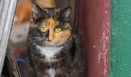Three colored cat in its street shelter Royalty Free Stock Image