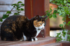 Three-colored cat Stock Photo