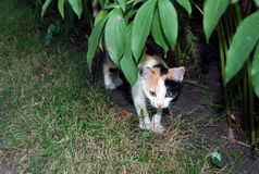 Three-colored cat. Little cat look out from behind a bush Royalty Free Stock Images