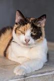 Three colored cat Stock Photo