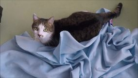 Three-colored cat lying in bed stock footage
