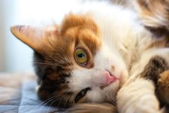 Three-colored cat lying on the pillow and looking directly into the lens. Portrait pets close-up royalty free stock photo