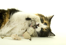 Three-colored Cat Playing With Artificial Mice Stock Images
