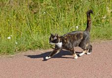 Three-colored cat runs on affairs on country road in summer. L.  Aland Islands, Finland Stock Images