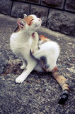 A three colored cat scratching on a concrete pavement. Animal in action, animal background stock images