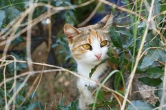 Three-colored cat sits in the bushes. A three-colored cat sits in the bushes and listens to something Royalty Free Stock Images