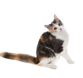 Three-colored cat sitting with bowed head and lifting one leg Royalty Free Stock Photography