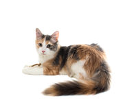 Three-colored cat sitting with bowed head and lifting one leg Stock Photos
