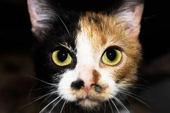 Three colored cat with yellow and green eyes.  stock photos