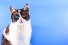 Three-colored cute kitten. On blue background Stock Photos
