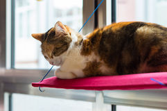 Three colored domestic cat sleeping on a red pillow in front of the window Royalty Free Stock Photography