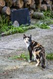 A tricolor female cat mews near stacked firewood stock photography