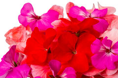 Three-colored geraniums Stock Images