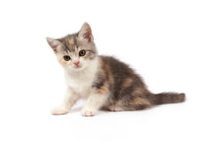 Three-colored kitten Stock Image