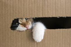 A three-colored kitten gnaws a cardboard box. Kitty put his paw out of the box. Isolated stock photo