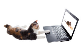 Three-colored kitten lying lazily around a laptop and plays the Royalty Free Stock Photos