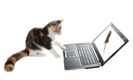 Three-colored kitten lying lazily around a laptop and plays the Stock Photos