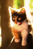 Three colored she kitten wash itself on porch with back light Royalty Free Stock Photo