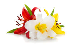 Three colored lily Royalty Free Stock Images