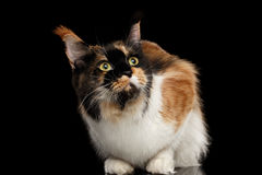 Three Colored Maine Coon Cat Funny Looking up Isolated Black Royalty Free Stock Photography