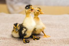 Three colored newborn duckling on linen cloth royalty free stock photos